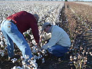 Glenn Langdon inspecting cotton fields during harvest.